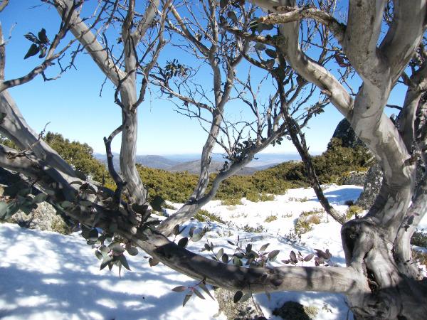 Eucalyptus enneigés